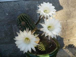 Our cactus has flowers that last only hours, but their beauty is not pointless