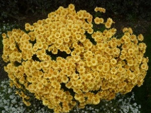 mums and alyssum in my front flower bed - autumn beauty