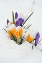 Our crocuses aren't in bloom yet, but this is just pretty