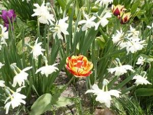 The tulips and daffodils under our hydrangea tree taken May 8