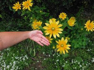 My Rudbeckia is fantastic this year, and my wife's hand shows the size