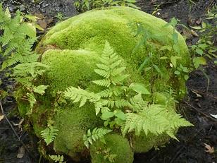 Rondeau Moss