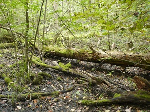 Rondeau Swamp