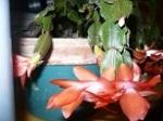 My Christmas Cactus